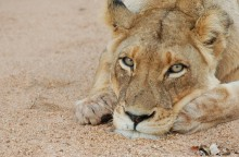 Go on a Kruger Tour and visit Royal Chundu