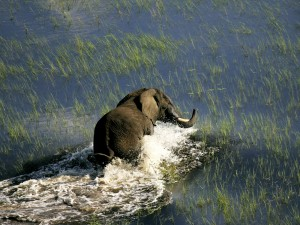 Elephant crossing a river in Chobe