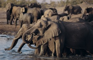 An Elephant Herd Drinks at the Zambezi